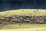 sheep on a rolling hill