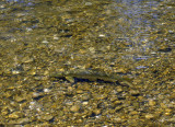 a Barbel in the Isar River (Germany)