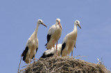 3 storks and one hiding