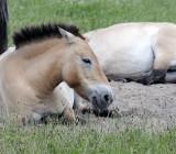 Mongolian Horse relaxing
