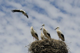 Daddy's Coming Home, Storks in Holland