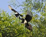fun and games in birdland - European Magpies