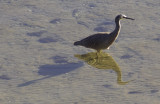White faced heron with both shadow and reflection