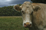 a happy cow