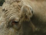 a sad cow