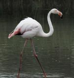 flamingo goes walking