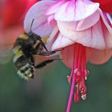 Fushia and Bee
