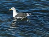 Southern Black-Backed Gull aka Karoro