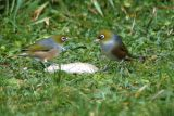 20 July 06 - Two Waxeyes
