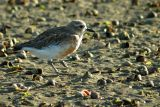 The NZ dotterel walks away