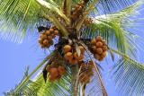 Coconut Palm, Manuel Antonio,  Costa Rica