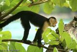 White Faced Capuchin Monkey, Manuel Antonio National Park, Costa Rica