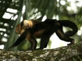 White Faced Capuchin Monkeys, Manuel Antonio National Park, Costa Rica