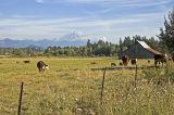 Cows_barn_Mt Rainer