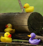 DUCK 2 on feeder by Cathy Waters