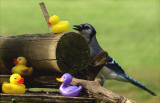 Ducks on jay feeder by Cathy Waters