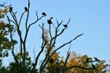 black vultures roost
