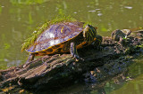 Turtles in Elkhorn Creek.