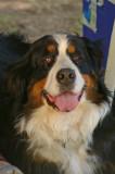 A Baerner Senne Hung ,  a bernese mountain dog