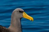 Chatham Island Mollymawk