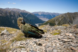 Kea at 1300m Arthurs Pass New Zealand