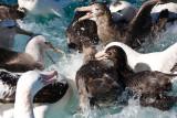 Albatross Feeding Frenzy
