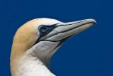 Australasian Gannet at Cape Kidnapper's NZ