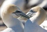 Australasian gannet Preening