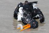 Oystercatcher Pollution Victim