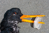 Oystercatcher Pollution Victim Died of Starvation