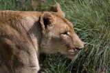 Female Lion at Amani Lodge Namibia