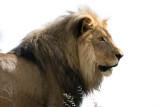 Lion at Amani Lodge Namibia