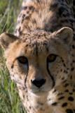 Cheetah at Amani Lodge Namibia