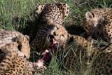 Cheetahs Feeding at Amani Lodge Namibia