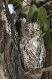 African Scops-Owl