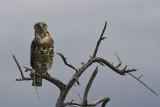 Either Brown Snake Eagle or Blackbreasted Snake Eagle