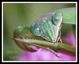MANTIS AND GRASSHOPPERS