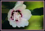ROSE OF SHARON-6172.jpg