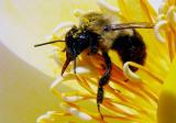 Bumble Bee on Lotus pb.jpg