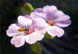 Tiny syrphid fly .jpg