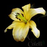 YELLOW ASIATIC LILY 6634b.jpg