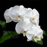 White Orchid 4455a .jpg