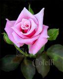 PINK ROSE 3 a.jpg