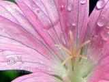 PINK FLOWER 7419 .jpg