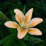 PEACH ASIATIC LILY_4722 .jpg