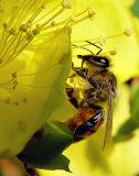 Melissa Bee(honey bee)1834 .jpg
