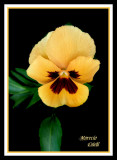 YELLOW PANSY 5685 .jpg