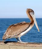 Pelican Female