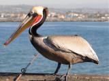 Pelican Male