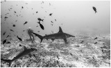 Swimming with hammerheads.